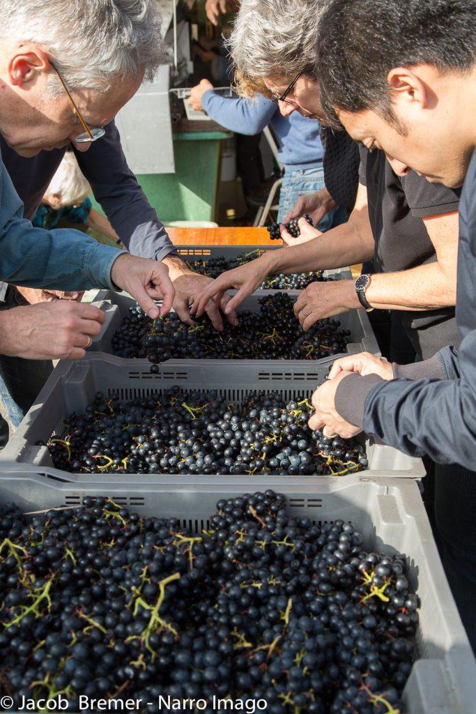 druiven selecteren