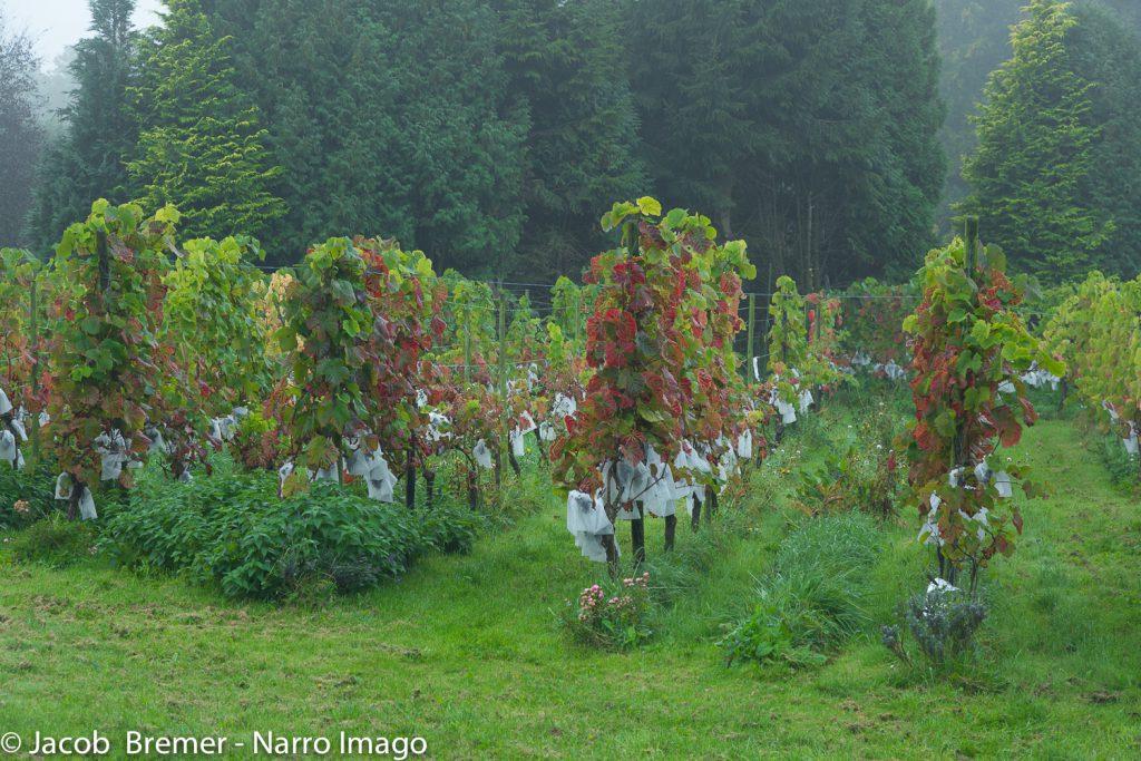 wijngaard met troszakjes